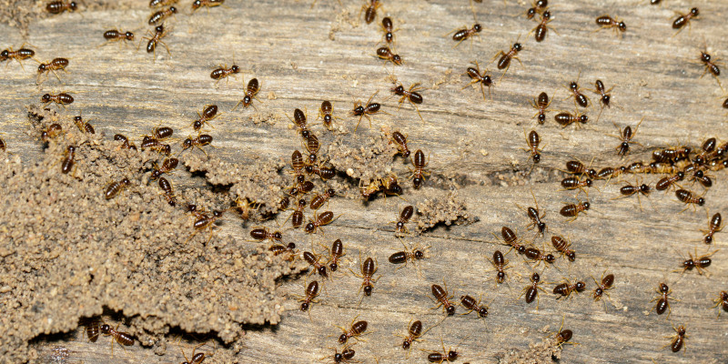 Ant Control in Mount Airy, North Carolina