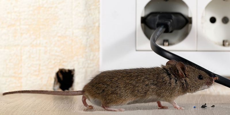 Rodent Control in Mount Airy, North Carolina